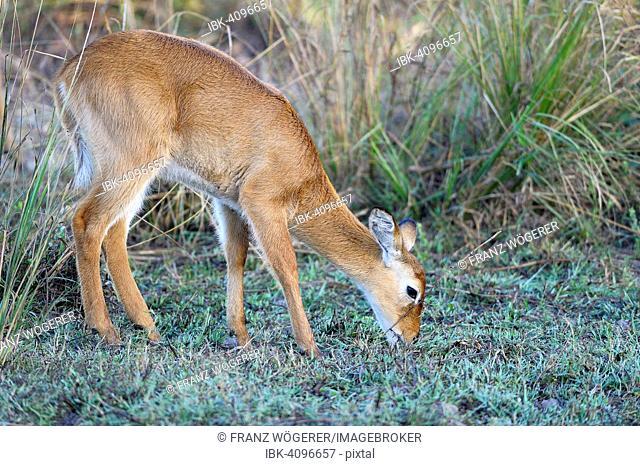 Puku (Kobus vardonii), browsing, South Luangwa National Park, Zambia