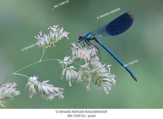 Banded Demoiselle (Calopteryx splendens), male, Haren, Emsland region, Lower Saxony, Germany, Europe