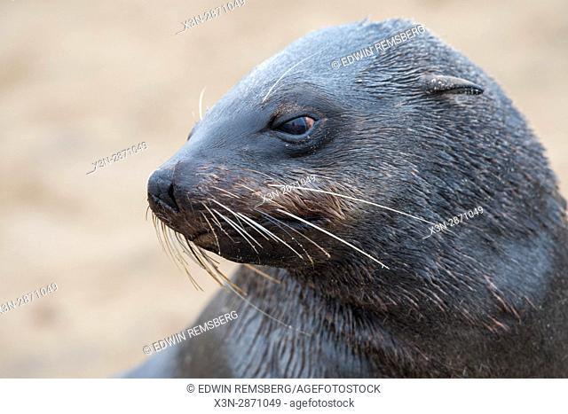 A close up view of a seal at the Cape Cross Seal Reserve, located in Namibia, Africa