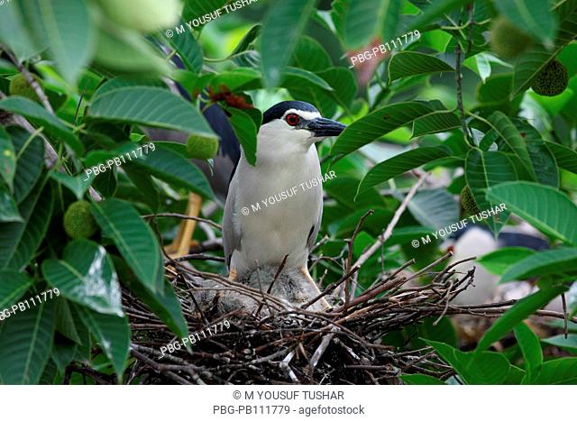 night heron, The Cattle Egret Bubulcus ibis locally known as go bok is a small white heron found near water-bodies, cultivated fields