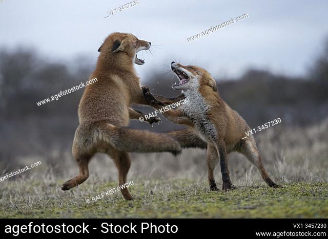 Red Foxes / Rotfuechse ( Vulpes vulpes ), two adults, in agressive fight, fighting, wide open jaws, attacking each other, rutting season, wildlife, Europe