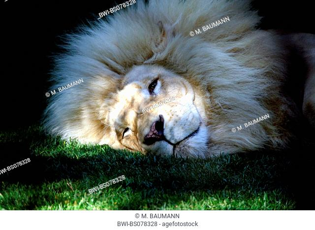 lion (Panthera leo), sleepy white single animal