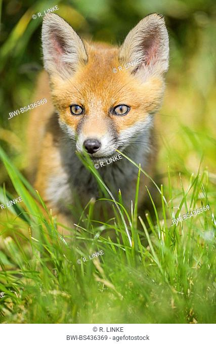 red fox (Vulpes vulpes), fox kit standing in a meadow, Germany