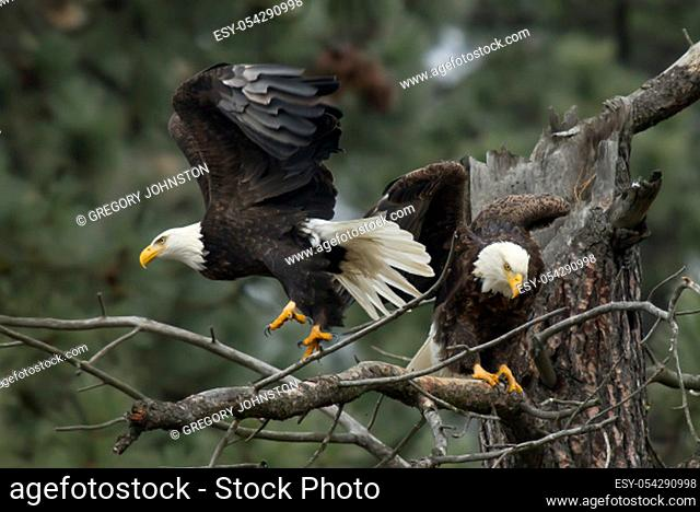 Two eagles are perched on a branch by Coeur d'Alene, Idaho