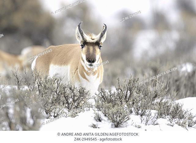 Pronghorn (Antilocapra americana), male, standing in sage bush during winter, Old Yellowstone road, Montana, USA