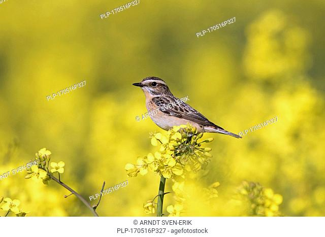 Whinchat (Saxicola rubetra) female perched in flowering rape field in spring