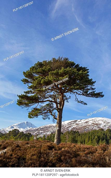 Solitary native Scots pine (Pinus sylvestris) in Glen Affric in winter, Inverness-shire, Scottish Highlands, Highland, Scotland, UK