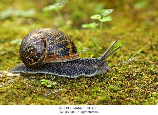 Brown garden snail, Brown gardensnail, Common garden snail, European brown snail (Cornu aspersum, Helix aspersa, Cryptomphalus aspersus, Cantareus aspersus)