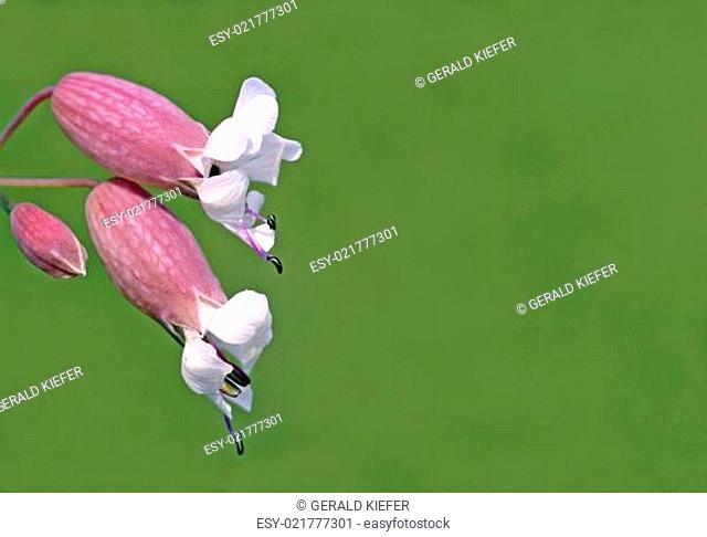 Taubenkropf-Leimkraut Silene vulgaris