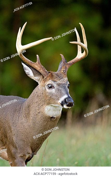 Stag white-tailed deer (Odocoileus virginianus) in Cades Cove with autumn antlers, Great Smoky Mountains NP, Tennessee, USA