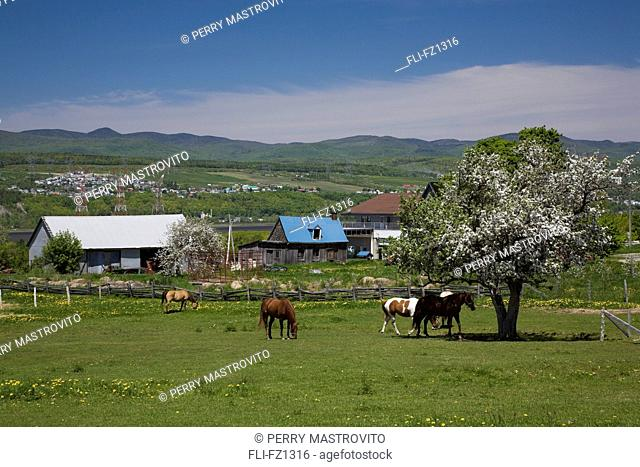 Barns and horses in a field in spring, Saint-Pierre, Ile-d'Orleans, Quebec, Canada
