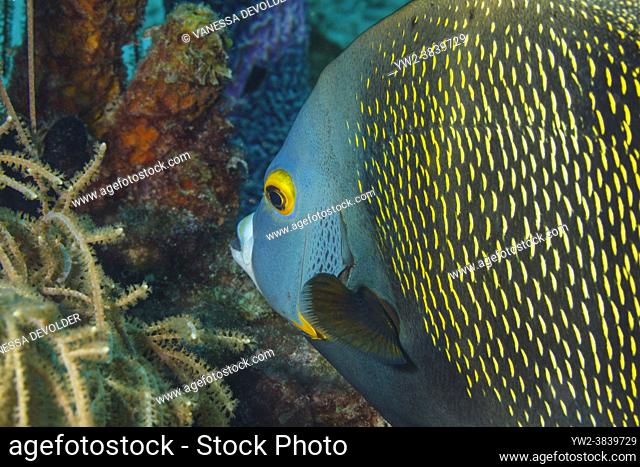 French angelfish ( Pomacanthus paru ) in the Caribbean Sea around Bonaire