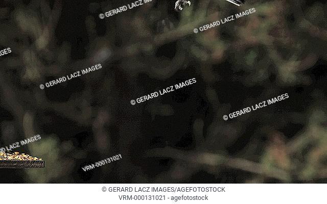Great Tit, parus major, Adult in Flight, Landing on Trough, Normandy, Slow motion