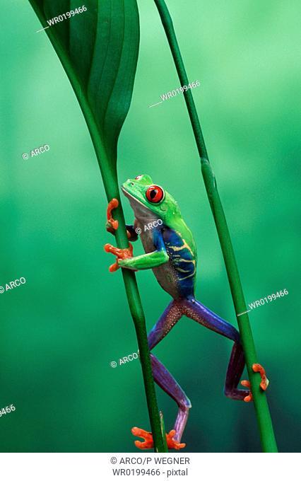 Red-eyed, Tree, Frog, male,Agalychnis, callidryas