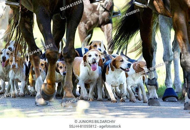 Beagle pack with riders. Germany
