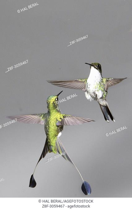 Pair of Booted Rackettail Hummingbirds male and female facing off (Ocreatus underwoodii). Ecuador