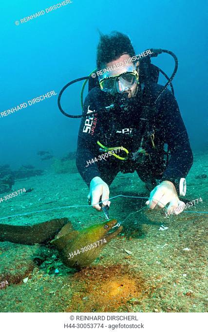 Diver takes off hook from Panamic Green Moray Eel, Gymnothorax castaneus, La Paz, Baja California Sur, Mexico