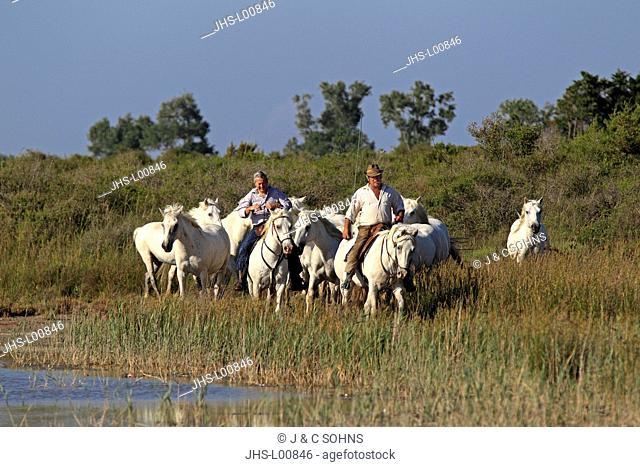 Camargue Horse,Equus caballus,Saintes Marie de la Mer,France,Europe,Camargue,Bouches du Rhone,group of horses and guardian