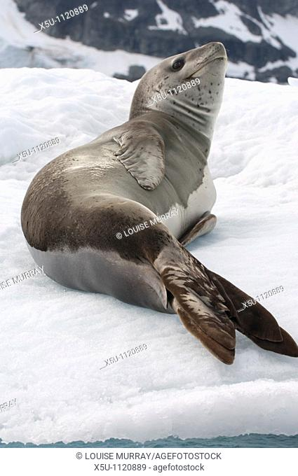 Leopard seals are top predators of the Antarctic region  Their usual diet is penguins Antarctic peninsula -Port Lockroy