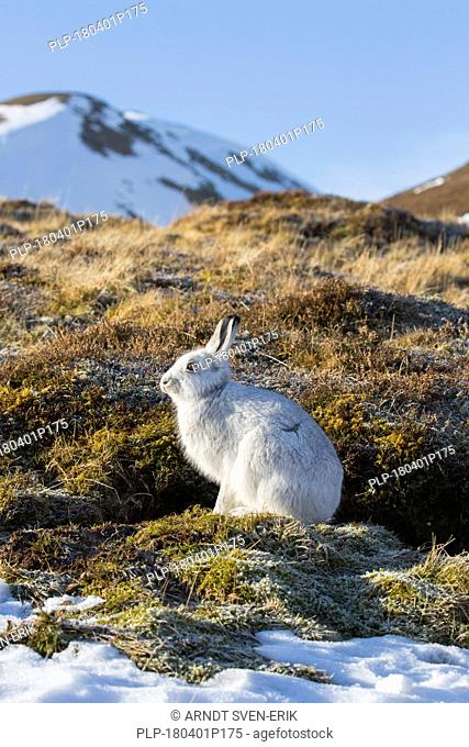 Mountain hare / Alpine hare / snow hare (Lepus timidus) in white winter pelage in the Cairngorms National Park, Scottish Highlands, Scotland, UK