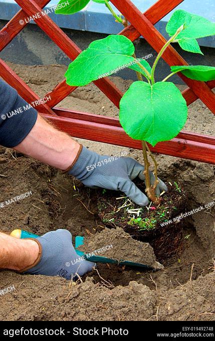 Kiwipflanze pflanzen - planting a kiwi plant 03