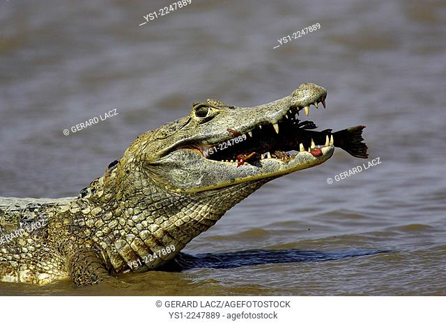 Spectacled Caiman, caiman crocodilus, with a Fish in its Mouth, Los Lianos in Venezuela