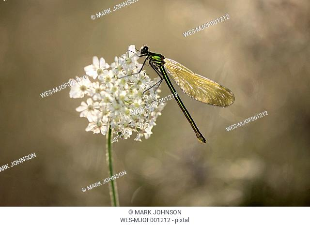 Female banded demoiselle on white blossom