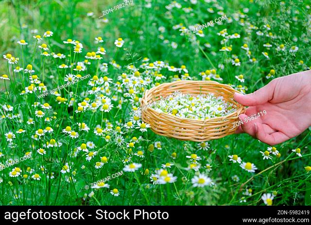 female hand hold little wicker basket with chamomile flower on summer nature background
