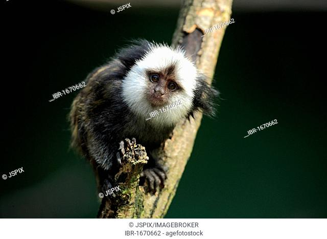 White-Headed Marmoset, Tufted-Ear Marmoset or Geoffroy's Marmoset (Callithrix geoffroyi), juvenile in a tree, Brazil, South America