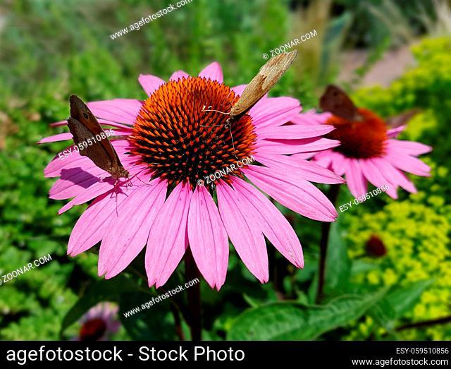 Roter Sonnenhut; Echinacea; purpurea, Heilpflanze