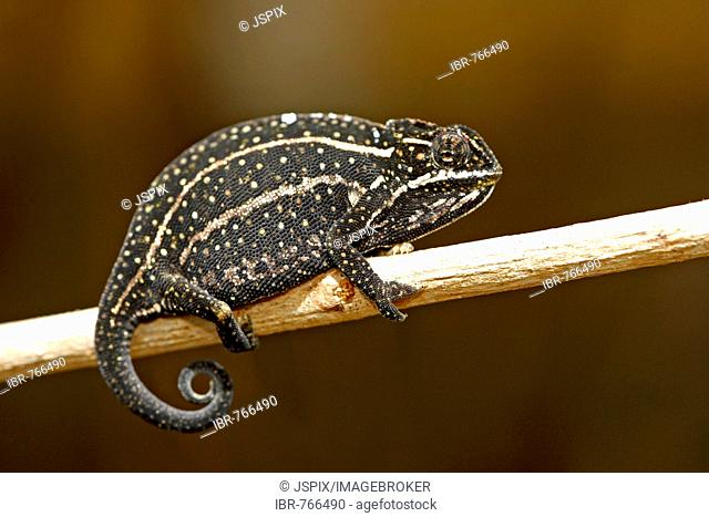 Rainforest Chameleon (Furcifer balteatus), male, Madagascar, Africa