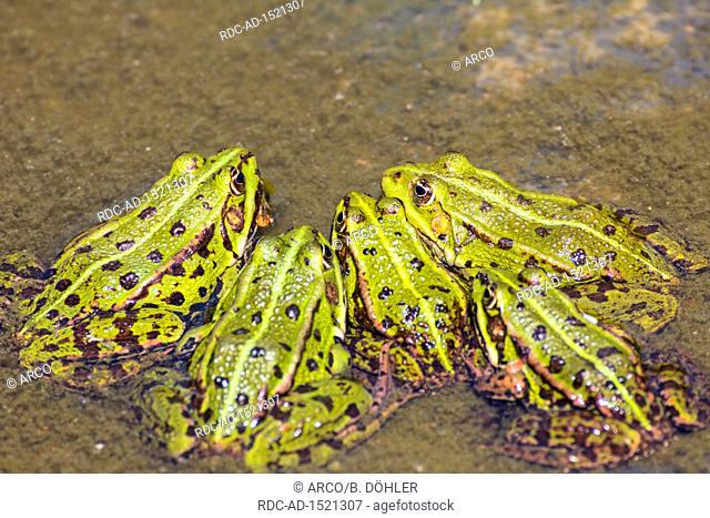 Green frog, Common water frog, Zingst, Mecklenburg-Vorpommern, Germany, Pelophylax kl. esculentus