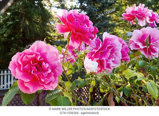 Red roses in backyard garden