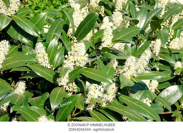 Prunus laurocerasus, Kirschlorbeer, Laurel cherry