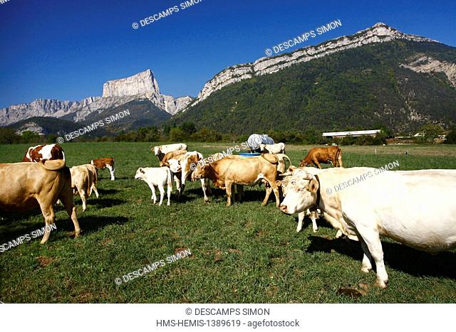 France, Isere, Parc Naturel Regional du Vercors (Natural regional park of Vercors), Clelles, cows