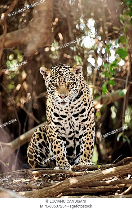Jaguar (Panthera onca), Cuiaba River, Pantanal, Brazil