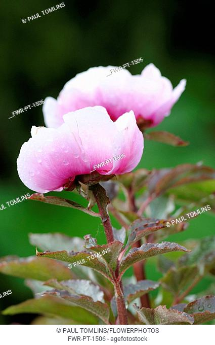 Peony, Paeonia mascula, Side view of 2 stems with half open deep pink bowl shaped flowers fading to white, Raindrops, Pink tinged foliage