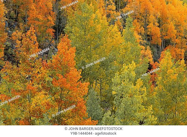 Fall-colored quaking aspen Populus tremuloides, near Lime Creek, San Juan National Forest, southwest Colorado, USA