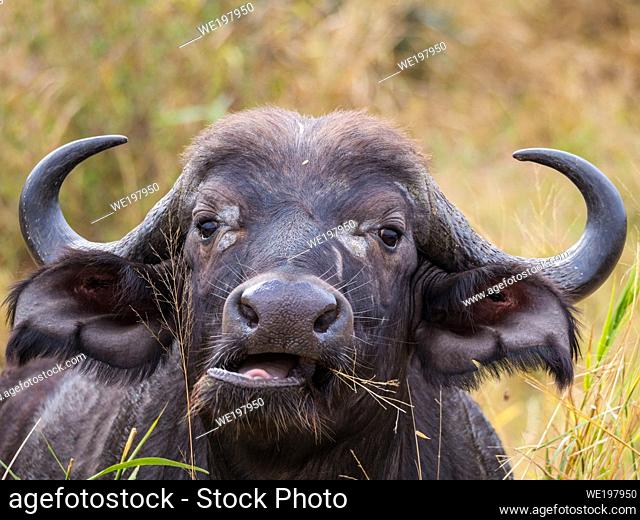 African buffalo or Cape buffalo (Syncerus caffer) portrait. Mpumalanga. South Africa