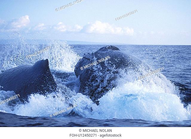 Humpback Whales Megaptera novaeangliae Competitive male surfacing and showing aggression. AuAu Channel, Maui, Hawaii