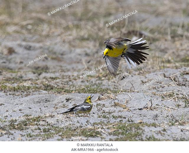 Two Citrine Wagtails (Motacilla citreola) fighting. Mongolia