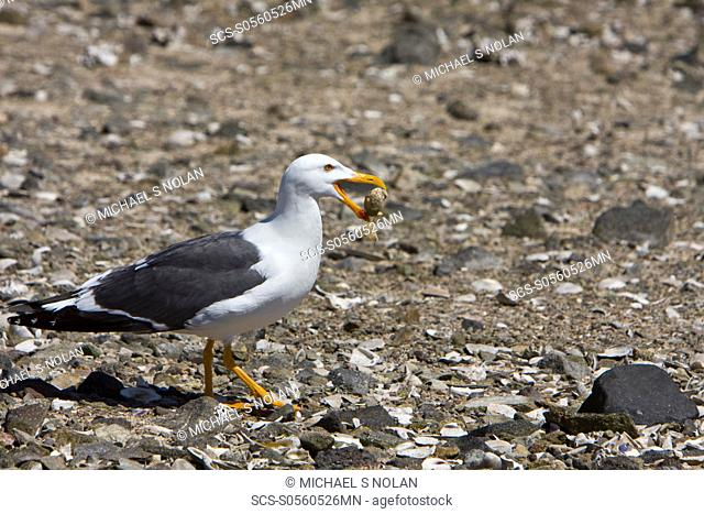 Yellow-footed Gull Larus livens eating clams at low tide in Puerto Don Juan in the Gulf of California Sea of Cortez, Mexico MORE INFO: These gulls have...