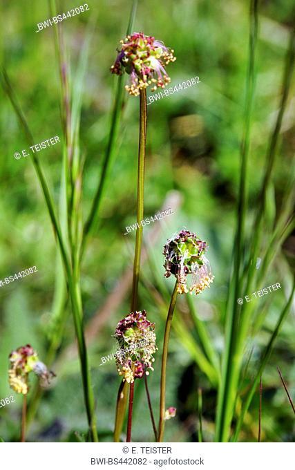Garden burnet, Salad burnet (Sanguisorba minor, Poterium sanguisorba), inflorescence, Germany, North Rhine-Westphalia