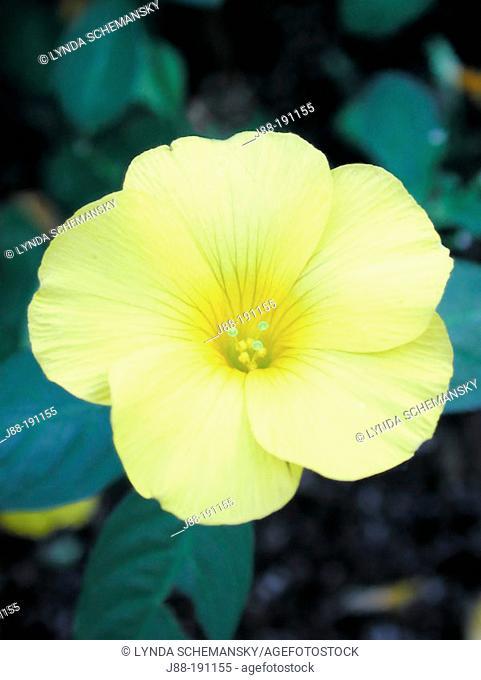 Yellow Flax (Reinwardtia indica)