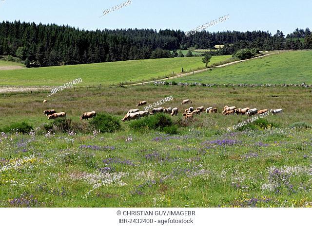 Cattle grazing on a meadow, Gévaudan near Saugues, Monts de la Margeride, Margeride mountains, Haute Loire, Auvergne, France, Europe