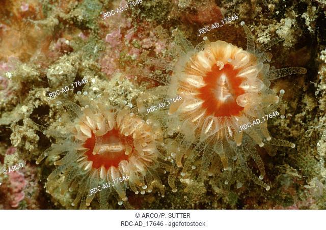 Devonshire Cupcoral Mediterranean Sea Caryophyllia smithii