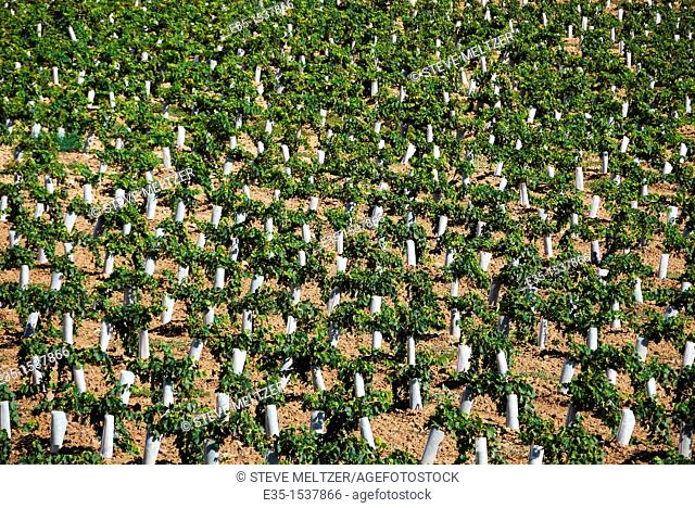 Plastic protectors keep harmful insects and small animals from destroying newly planted, young grape vines