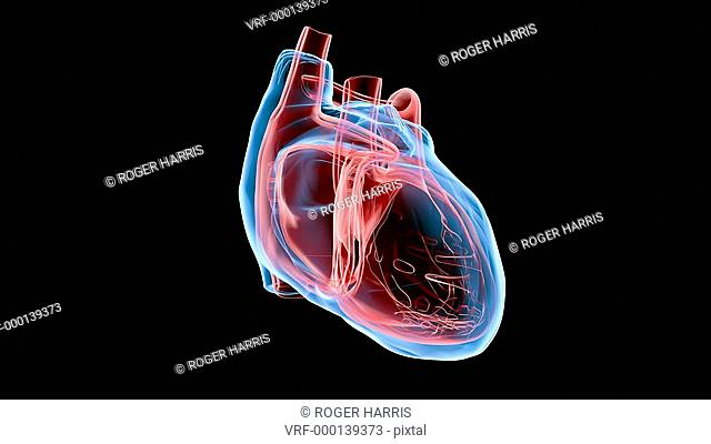 Animation of the human heart rotating against a transparent background. HD supplied with alpha, or for a flat version on a black background see image number...