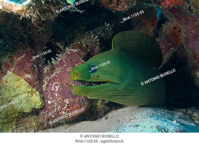 Close-up of green moray Gymnothorax funebris, Roatan, Bay Islands, Honduras, Caribbean, Central America