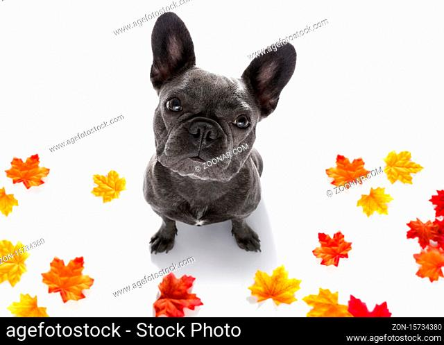 curious french bulldog dog looking up to owner waiting or sitting patient to play or go for a walk, isolated on autumn fall leaves
